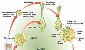What is the process of fertilization in angiosperms? - Quora