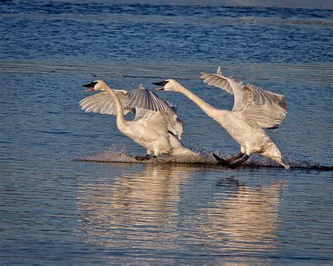 swans trumpeter winter near heber arkansas springs landing hundreds enjoy source