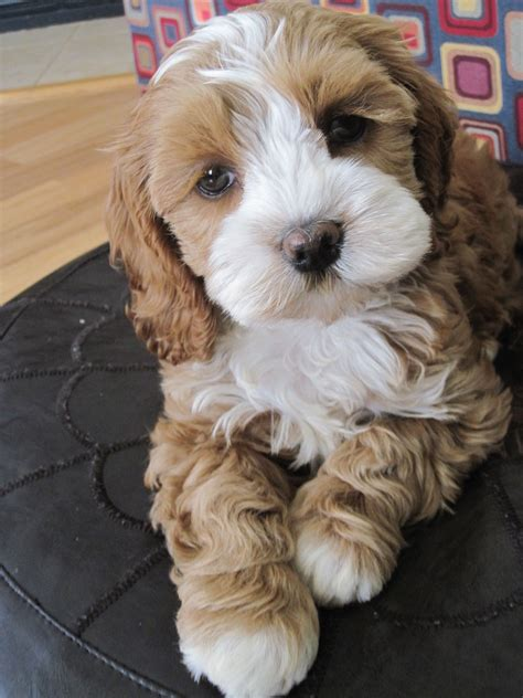 Cutest little puppy ever - my new baby cockapoo Maggie ...