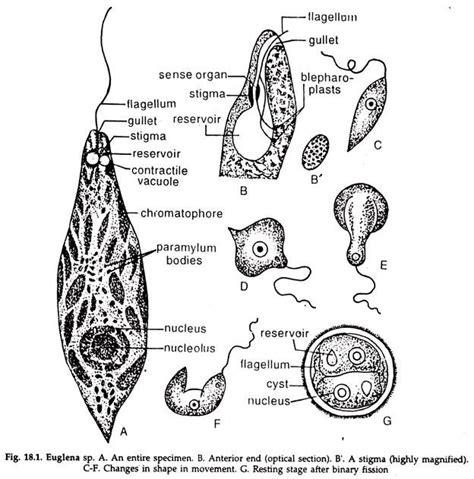 Diagram Euglena Sp by Euglena Nutrition And Reproduction Subkingdom Protozoa