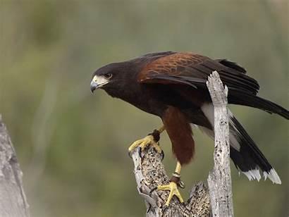 Hawk Harris Hawks Bird Unicinctus Parabuteo Tucson