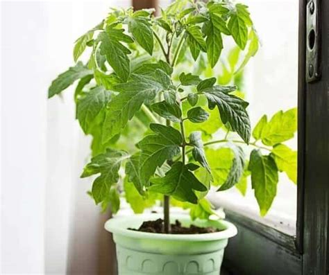 Growing Tomatoes Indoors On A Windowsill by How To Grow Tomatoes Indoors
