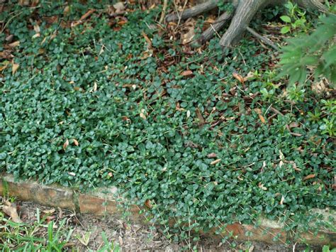 low growing ground cover not your common groundcovers east texas gardening
