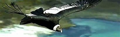 Condor Vulture Andean Gifs Vultures Bird