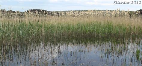 Common Reed: The Genus Phragmites East of the Cascade ...