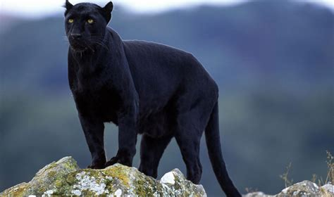 Black Animal Wallpaper - black panthers animal pictures on animal picture society