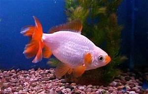 Jikin Goldfish