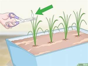 Cultiver De L Ail : comment cultiver de l 39 ail en pot l 39 int rieur ~ Melissatoandfro.com Idées de Décoration
