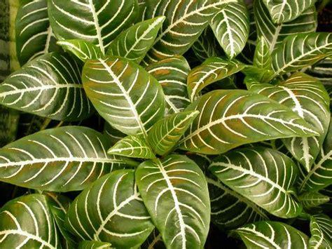Top 10 Houseplants #2 Zebra Plant  This Houseplant Will