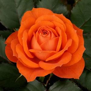 Rose Jewel Orange Pohlmans Phone 07 5462 0477