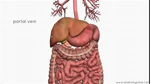 Introduction To The Digestive System Part 4