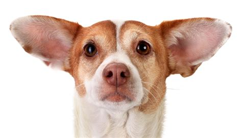 dogs ears  pluck    pluck sarasota dog