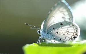 White Butterfly Full HD Wallpaper and Background Image ...