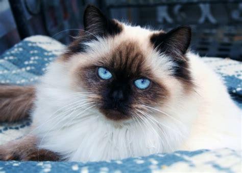 do ragdoll cats shed top 5 hypoallergenic cat breeds petstarter