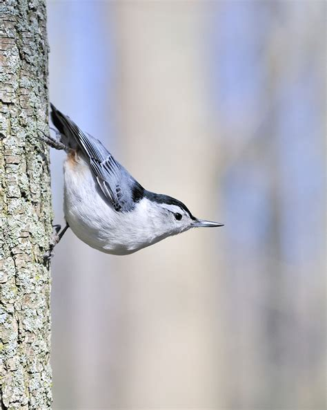 white breasted nuthatch song  america birdseed