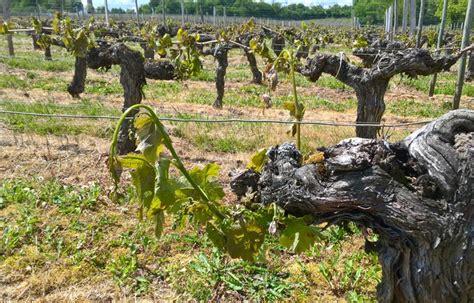 chambre d agriculture de la gironde plus de la moitié du vignoble bordelais a été dévasté par