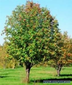 Passion Fruit, passiflora edulis - Seeds