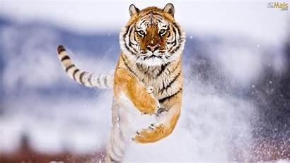 Tigre Neve Parede Papel Wallpapers Tigres Fundo