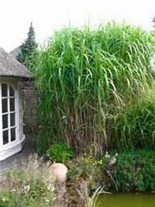 Winterharte Gräser Balkon : hoher sichtschutz winterhart miscanthus floridulus riesen chinaschilf gr ser bambus ~ Buech-reservation.com Haus und Dekorationen
