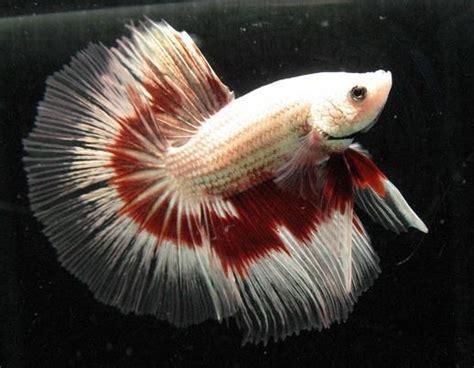 hobiis ikan cupang jenis jenis ikan cupang hias