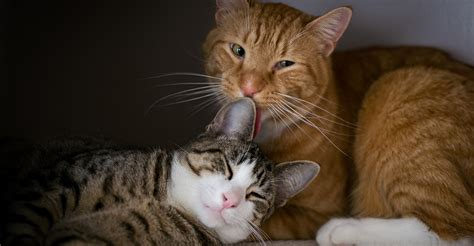 how do cats mate how do cats mate straight talking answers from the happy cat site