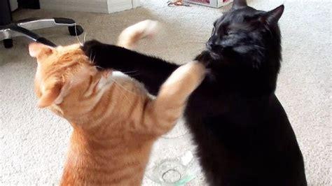 cats fighting ideas  pinterest cat fight gif