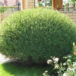 Salix Purpurea Nana Schneiden : salix purpurea nana ~ Markanthonyermac.com Haus und Dekorationen