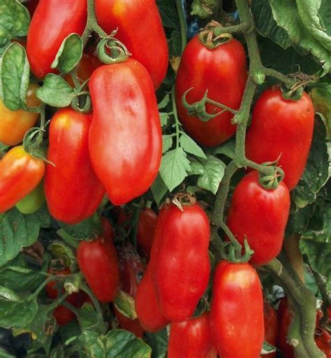 Heirloom Seeds  Tomato San Marzano