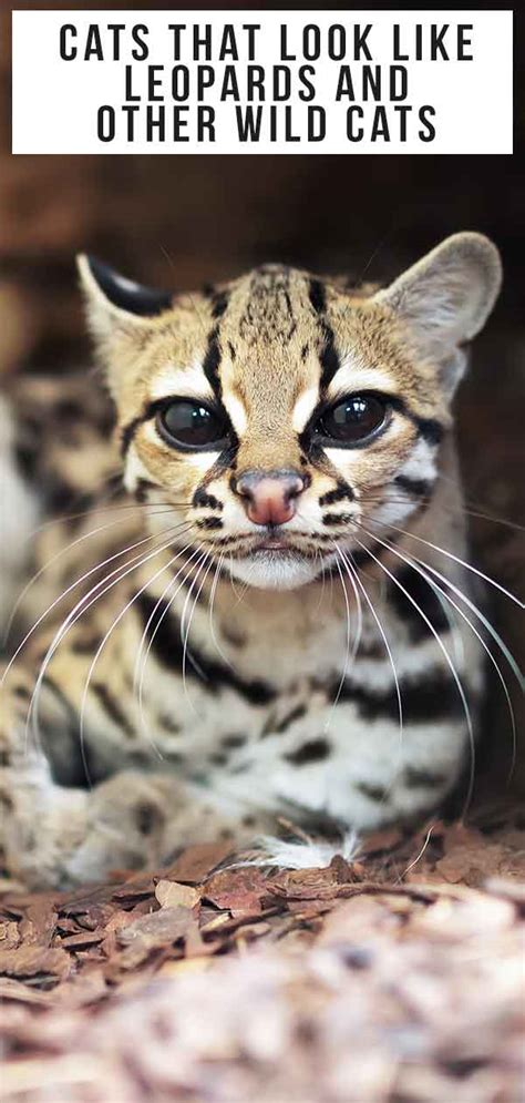 Cats That Look Like Leopards Domestic Breeds That Look