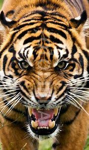 fierce angry tiger - Google Search | Art- Murals/ Bulletin ...