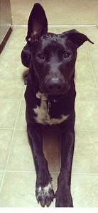Lab mixes, German shepherds and Lab mix puppies on Pinterest