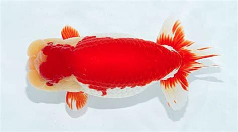 common goldfish types aquariumbase