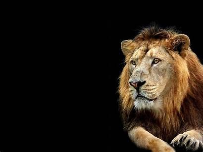 Lion 3d Wallpapers Desktop Backgrounds Nature Kindly