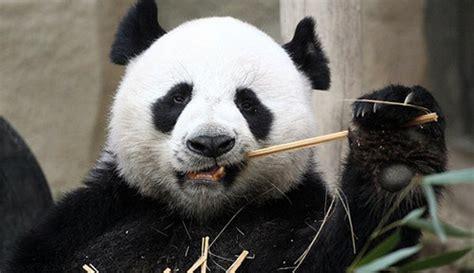 animals images cute panda bears wallpaper  background