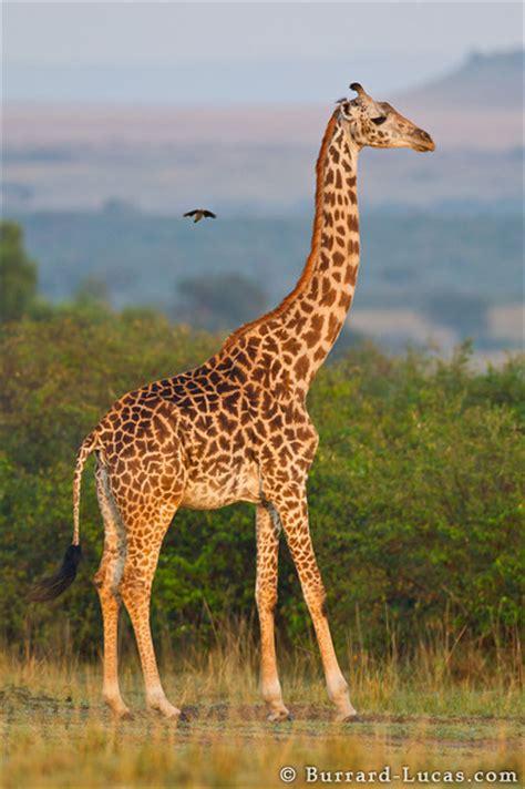 giraffe burrard lucas photography