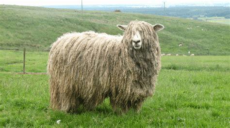 lincoln longwool sheep slow food   uk