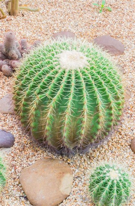 types of cacti what are some types of cactus plants with pictures