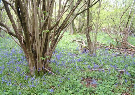 pruning hazelnut trees animals sheepdrove s weblog