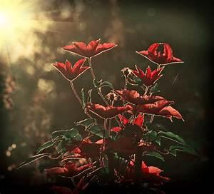 Kräuter Zusammen Pflanzen : rosen und clematis so pflanzen sie sie zusammen ~ Whattoseeinmadrid.com Haus und Dekorationen