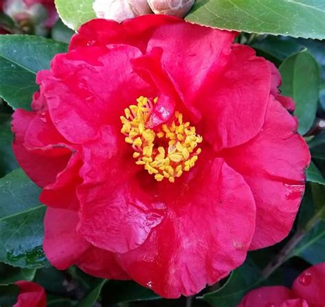 types of camellia flowers camellia japonica red varieties best red camellia japonica