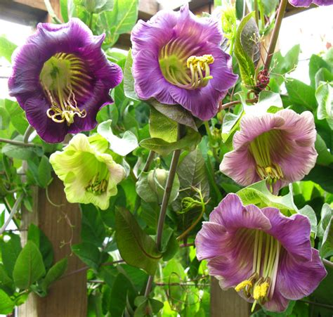 cathedral bells vine cobaea scandens quot cup and saucer vine quot buy online at annie s annuals