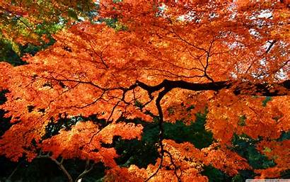 Maple Tree Japanese 4k Desktop Japan Wallpapers