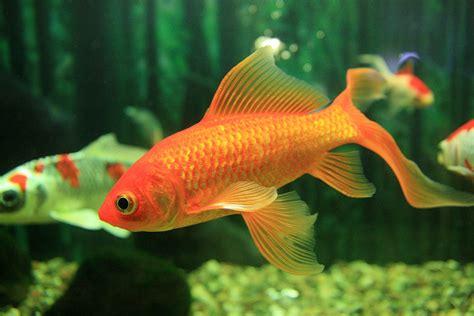 was fressen goldfische goldfische aquariumlog by kamillo koi und aquaristik
