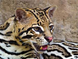 Ocelot Picture HD Desktop Wallpapers 4k HD