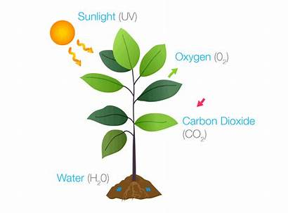 Photosynthesis Write Plants Chemical Oxygen Glucose Carbon