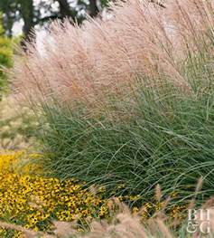 ornamental grasses on grass hedges and landscaping