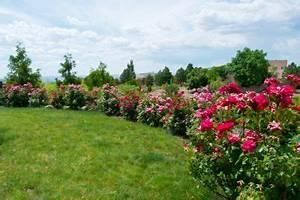 Wann Schneidet Man Rosen : rosen kalken wann warum und wie macht man das ~ Lizthompson.info Haus und Dekorationen