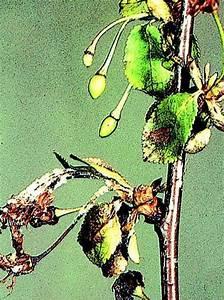 Schädlinge Am Kirschbaum : s und sauerkirschen krankheiten und sch dlinge lfl ~ Lizthompson.info Haus und Dekorationen