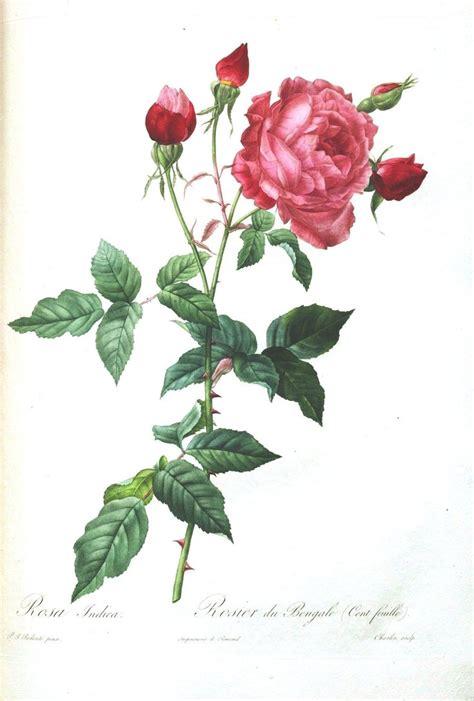 botany flowers botanical flower les roses 30 botanical art prints pinterest flower pink roses and ink