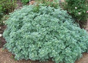 Artemisia Wormwood Julie Mendelsohn Master Gardener